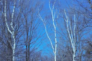Birch Trees by kawaiilove