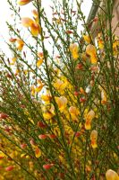 Beautiful yellow-red broom by steppelandstock