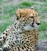 Cheetah (2) by firefrank