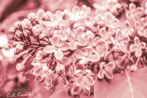 Time for lilacs by C-Asepsis