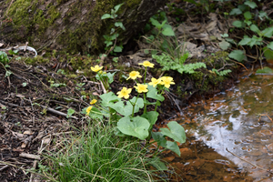 DSC 0058 Marsh Marigold 2 by wintersmagicstock