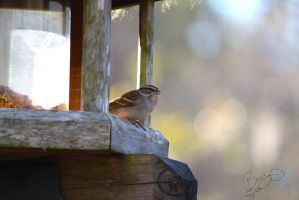Chipping Sparrow by Frostygirl696
