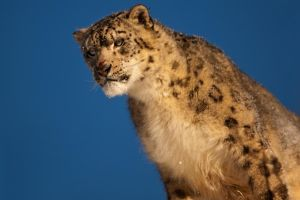Snow Leopard 13 by catman-suha
