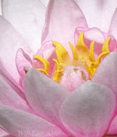 Water Lilly Lotus flower MACRO by SurfTiki