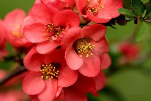 Chinese Quince by Escara40