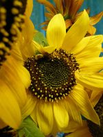 Sunflower 1 by dull-stock