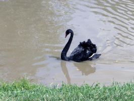 Lonely Black Swan by Mitsumura