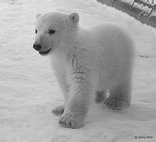 Black and White Polar Bear by lenslady