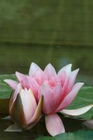 water lily 2 by Drezdany-stocks