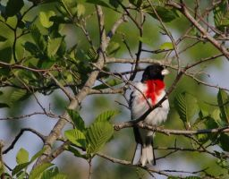 Red Breasted Grosbeak by barcon53