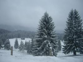 White pine stock by ClauDia18