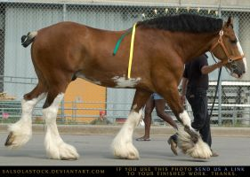Clydesdale 5 by SalsolaStock