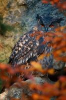eagle owl in fall by Ulliart