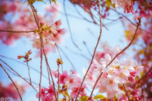 cherry blossoms. by arsilverfox
