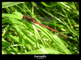 Damselfly by bagnaj97