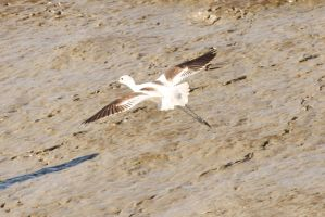 American Avocet by mmccul