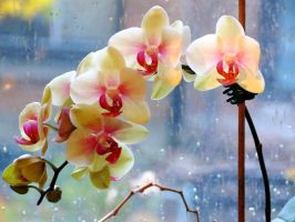 Beauty of Moth Orchids on a Rainy Day by Kitteh-Pawz