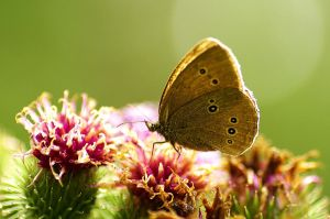 Butterfly on thistle 3950 by gacek