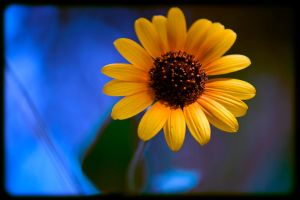 Sunflower Power by photo67