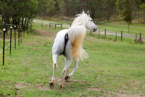 Arab - Trot from behind by Chunga-Stock