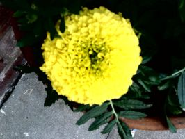 Photography big yellow flower by Bexiieeee