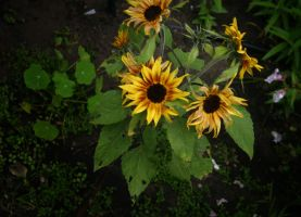 Sunflowers by ThatsByronic