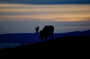 Bull Moose @ Sunset by Caldonianogre