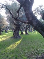 Old Olive Trees (3) by Torhval