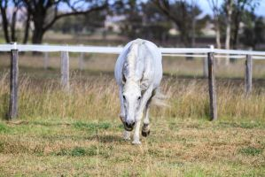 HH Grey Andalusian trot direct front by Chunga-Stock