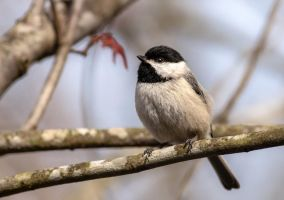 Chickadee by rctfan2