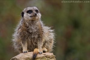 Meerkat 02 by Alannah-Hawker