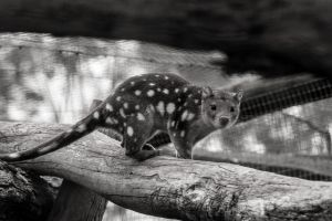 Quoll bw by DanielleMiner
