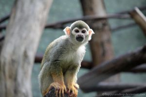 Squirrel monkey II by HappyRaindrop