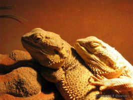 Bearded Dragons by Sei2ure