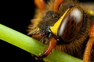 Nomada Bee at x5 by Alliec