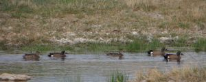 Blue wing teals by Rebel-Rider