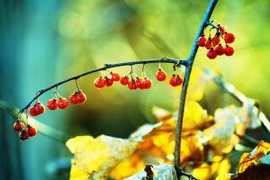 Little Red Berries by incolor16