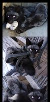 Blind Silver Fox SOLD by Tricksters-Taxidermy