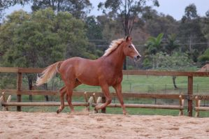TB trot mane up side on by Chunga-Stock