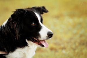 BORDER COLLIE by Borderkowa
