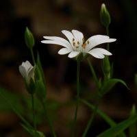 Another Stellaria holostea by Pildik