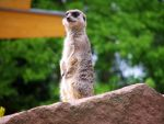 meerkat 01 by Pagan-Stock