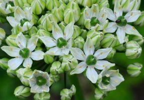 White Allium by Forestina-Fotos