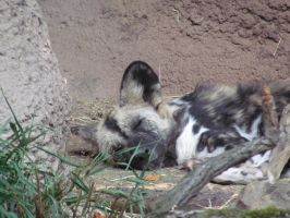 Sleepy African Wild Dog by SubRosa-undertherose