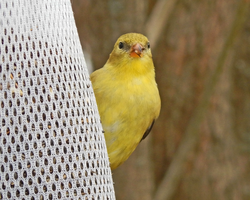 A Finch of Gold by CRGPhotography