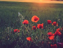 Poppies 3 by sasha-sunshine0