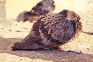 pigeon by sonia91