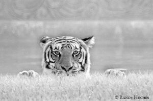 White Tiger by RandyHughes
