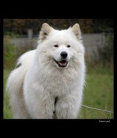 Samoyed 3 by Pawkeye