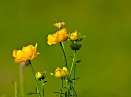 Trollius chinensis by lica20